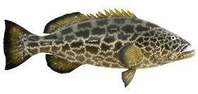Black Grouper1